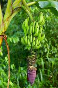 Unripe Banana Cluster Ecuadorian Plantation Near Machala City - stock photo