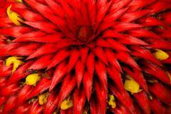 Heliconia Epiphyta Rare Flower From Amazonian Basin - stock photo