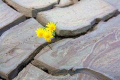 Small Yellow Flower Growing In A Dried Volcano Mud Suggesting The Power Of Life Stock Photos