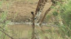 A giraffe drinking water at a waterhole Stock Footage