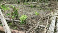 Stock Video Footage of Tropical rainforest felled for slash and burn agriculture