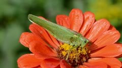 Beautiful green grasshopper on orange zinnia flower Stock Footage