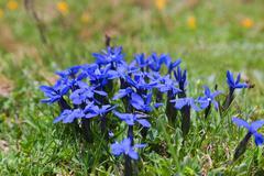 wild flowers on alpine meadows near mestia village. upper svaneti. georgia - stock photo