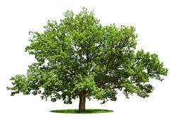 Big tree - oak isolated on a white Stock Photos
