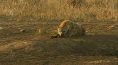 A wide of a spotted-hyena . Stock Footage