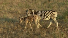 Zebra with foal  Stock Footage