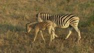 Zebra with foal  Stock Footage