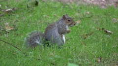Grey squirrel  in a wood, in England. Stock Footage