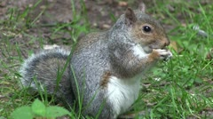 Grey squirrel eating food from its paws. - stock footage