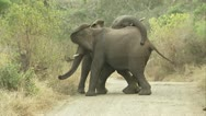 Elephants playing around on the road Stock Footage