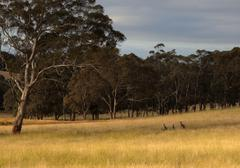 Kangaroo hiding in toll grass. country new south wales. australia. Stock Photos