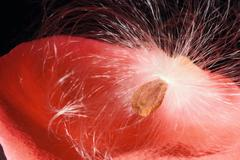 scarlet rose petal with dandelion fluffy seed on black - stock photo