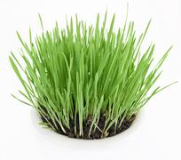 fresh new green grass in white plate - stock photo