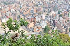 monkey on the mulberry  tree in front of kathmandu view - stock photo