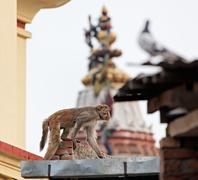 Slink monkey on the wall in swayambhunath, kathmandu, nepal Stock Photos