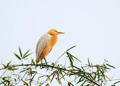 White bubulcus ibis sitting on bamboo tree, pokhara, nepal Stock Photos