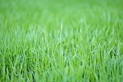 new green oats grass with water drops - stock photo