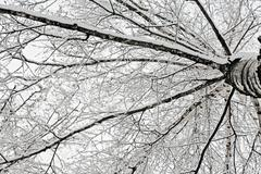 birch branches covered with snow - stock photo