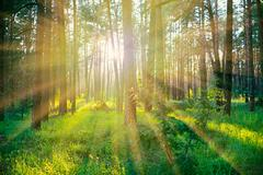 Pine forest on sunrise with warm sunbeams Stock Photos