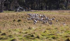sheep grazing. tablelands near oberon. new south wales. australia. - stock photo