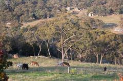 Cows on a rocky farmland. tablelands near oberon. new south wales. australia. Stock Photos