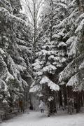 pinewood forest after heavy snowfall. moscow region. russia. - stock photo