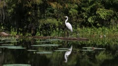 Egret Flies Stock Footage