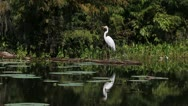 Stock Video Footage of Egret Flies