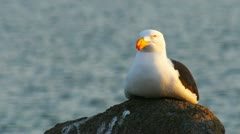 Pacific gull Stock Footage