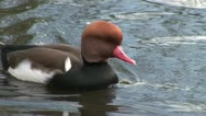 Red Crested Pochard Stock Footage