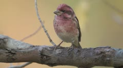 Purple Finch (Haemorhous purpureus) - Male 2 Stock Footage