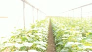 Organic plants greenhouse food agriculture red sweet pepper Cucumber Stock Footage