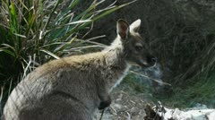 bennetts wallaby - stock footage