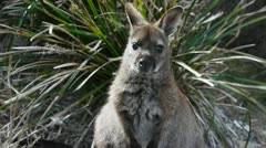 tasmanian wallaby - stock footage