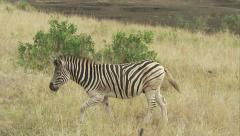 Zebra walks in the veld and crosses the road Stock Footage