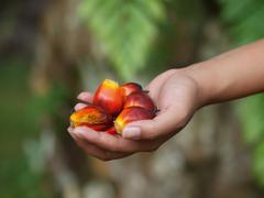oil palm fruits - stock photo
