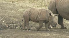 White rhino calf with its mother - stock footage