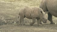 Stock Video Footage of White rhino calf with its mother