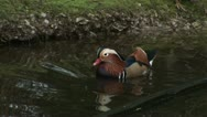 Mandarin duck Stock Footage