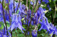 Blue field flowers Stock Photos