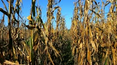Extremely dry corn crop - stock footage