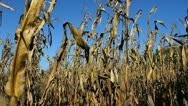 Dry crops blowing in the wind Stock Footage