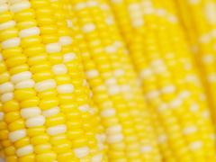 corn background - stock photo