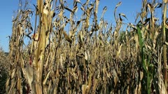 Dry corn crop blowing in wind. Stock Footage