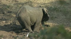 Elephant coved in mud Stock Footage