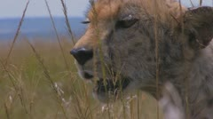 Cheetah head - stock footage