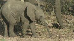 Elephant calf eating Stock Footage