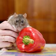 Rat and pepper Stock Photos