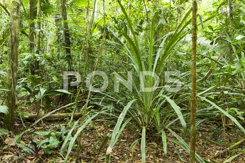 Stock photo of a large terrestrial bromeliad growing in rainforest in the ecuadorian amazon