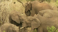 Elephants eating dried grass Stock Footage